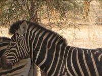 Zèbre - Reserve de Bandia