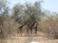 Girafe - Reserve de Bandia