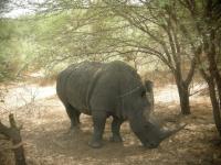 Rhino - Reserve de Bandia
