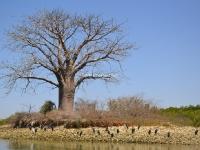 Delta Sine Saloum - Baobab - Nianing-excursion.com
